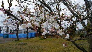 小千谷の桜