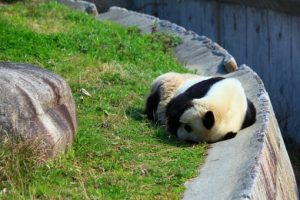 だらっとしたパンダ
