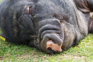 寝そべる豚